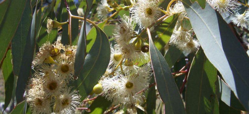 Eukalyptus als Heilmittel