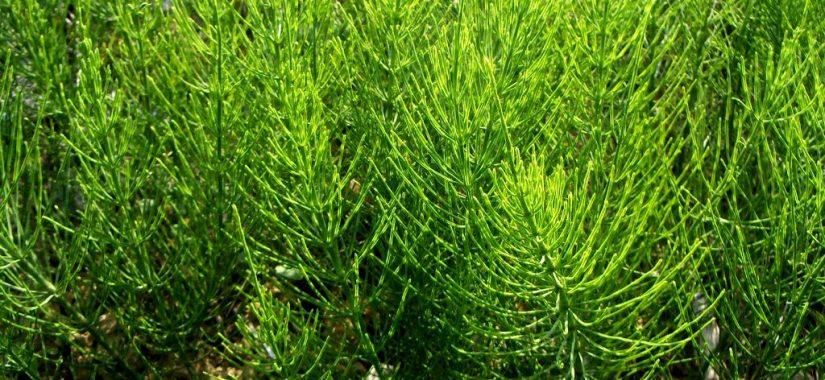 Equisetum arvensis - Ackerschachtelhalm