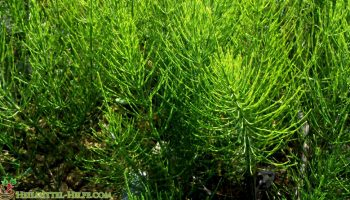 Ackerschachtelhalm – Equisetum arvense