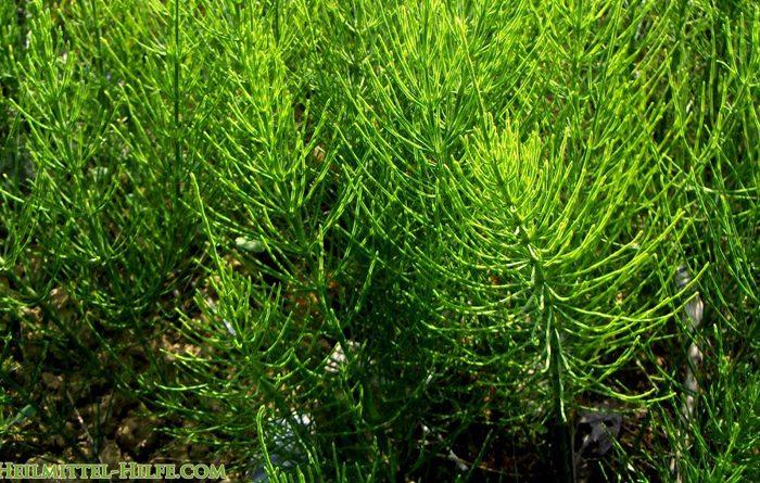 Ackerschachtelhalm - equisetum arvensis