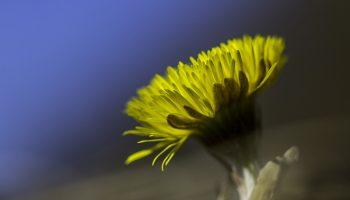 Huflattich – tussilago farfara