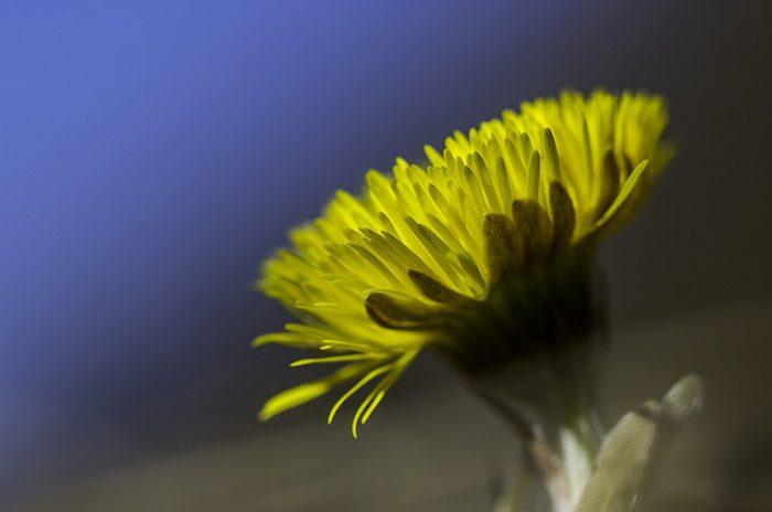 tussilago farfara - Huflattich