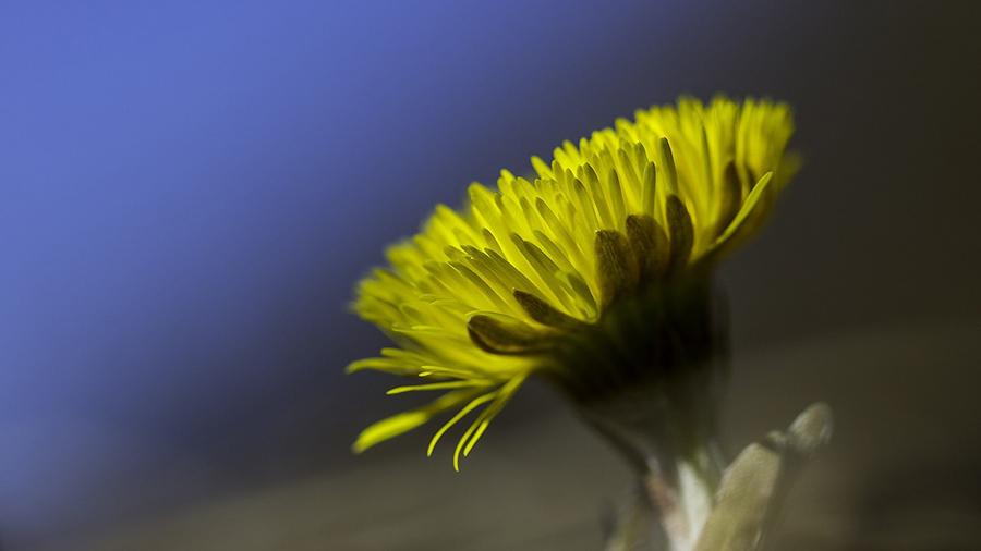 Huflattich - tussilago farfara